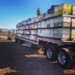 Our bees pollinate almonds, cherries, pears, and peaches.  We use trucks like this to help us move them quickly and safely. www.apishive.com