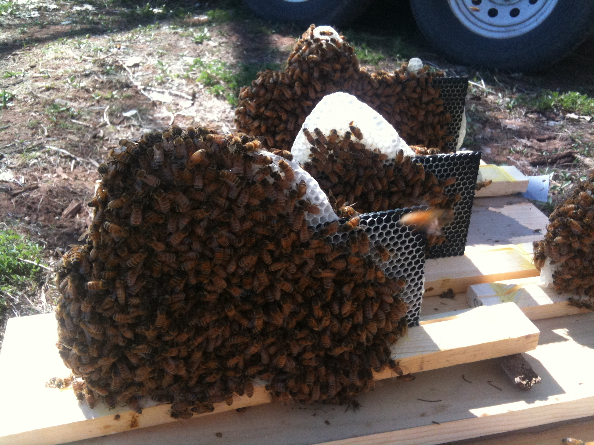 Honey bees for sale | Apis Hive & Honey Co.